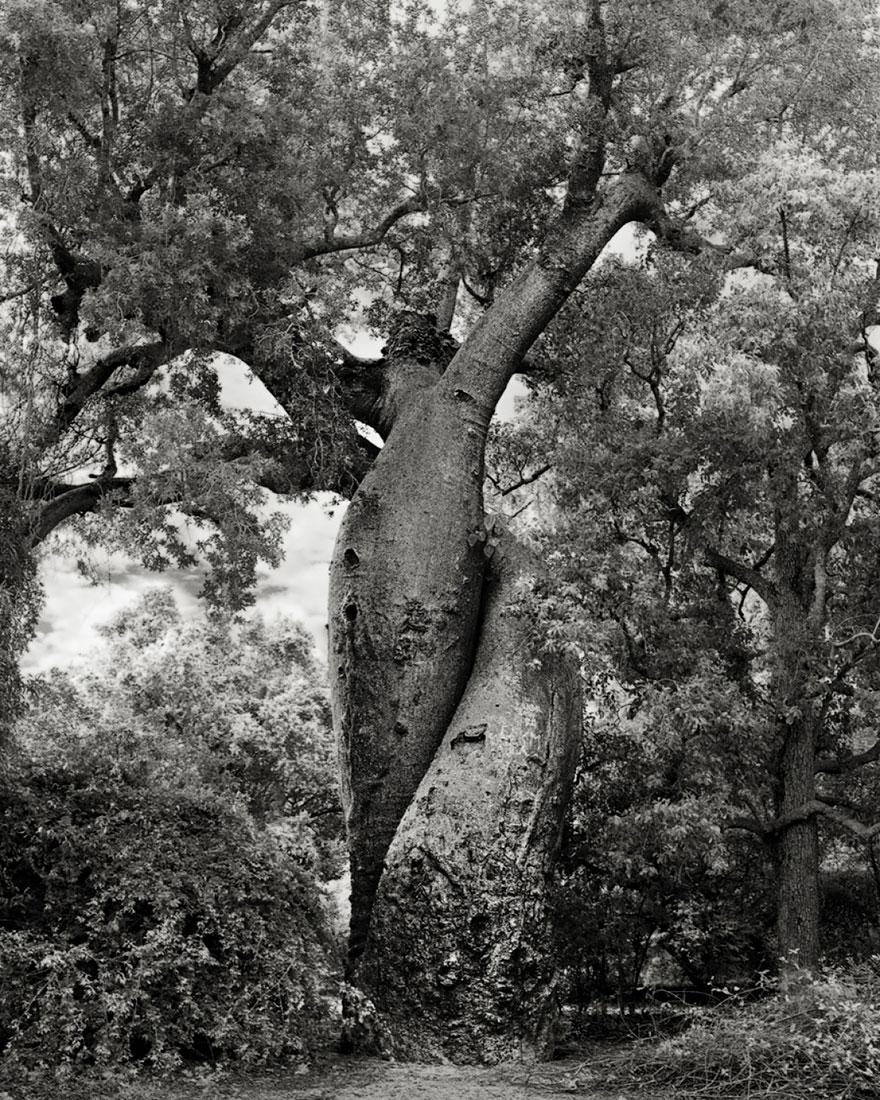 ancient-trees-beth-moon-20